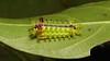 """Stinging Nettle Slug Caterpillar (Cup Moth, Parasa pastoralis, Limacodidae) """"Lavenderman"""" by John Horstman (itchydogimages, SINOBUG)"""