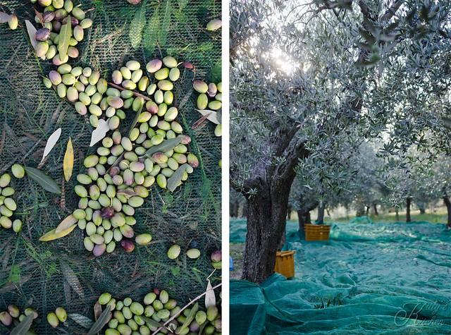 olive raccolta 2015-2