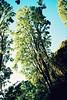 Poplar afternoon #2