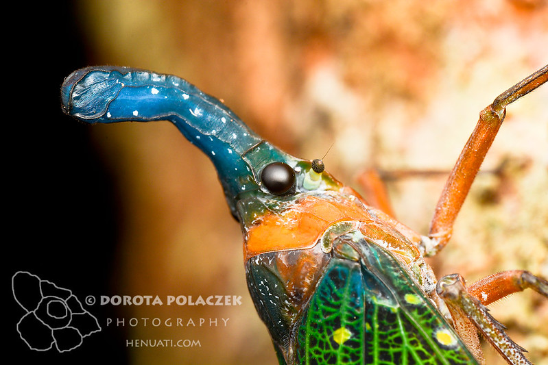 Lanternbug (Pyrops whiteheadi)