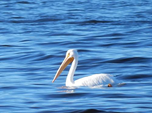 Salton Sea State Park - pelikaan