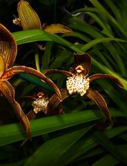 Cymbidium tracyanum 'Citron Sunray' hybrid orchid