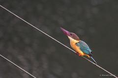 stork-billed-kingfisher_28486253195_o