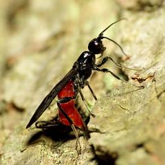 Braconid Wasp Ovipositing