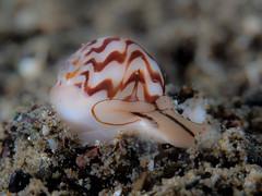 Necklace shell (Tanea undulata)