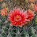 Barrel Cactus Flower August Bloom