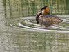 Great Crested Grebe with very large fish by ArtFrames