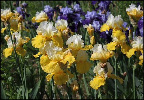 Iris 'Echo de France' - Pierre Anfosso 1984 20556710114_8492dba68f
