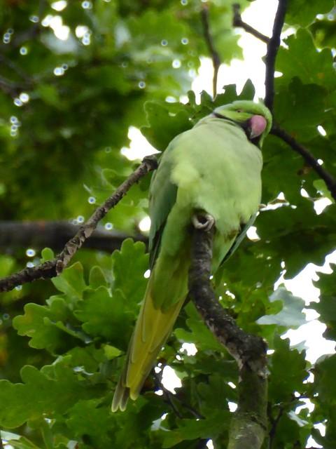 Wild parakeet - Greenwich Park, London