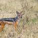 Tanzania, Arusha Region, Ngorongoro Conservation Area, black-backed jackal (canis mesomelas) by Eric Lafforgue