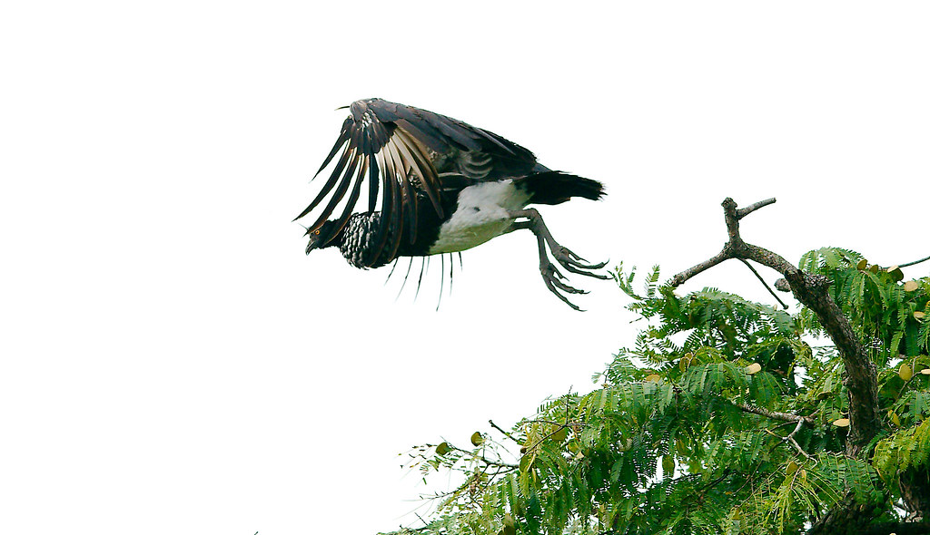 Horned Screamer_8