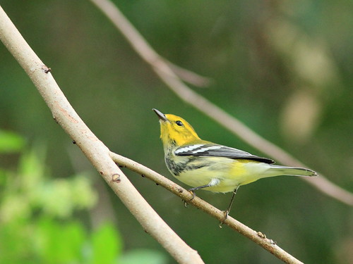 Black-throated Green Warbler 7-20151016