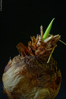 Hyacinth bulb