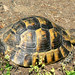 Spur-thighed Tortoise - Bulgaria - April 2006 by SteveMlodinow