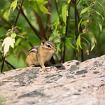 Chipmunk of High Park