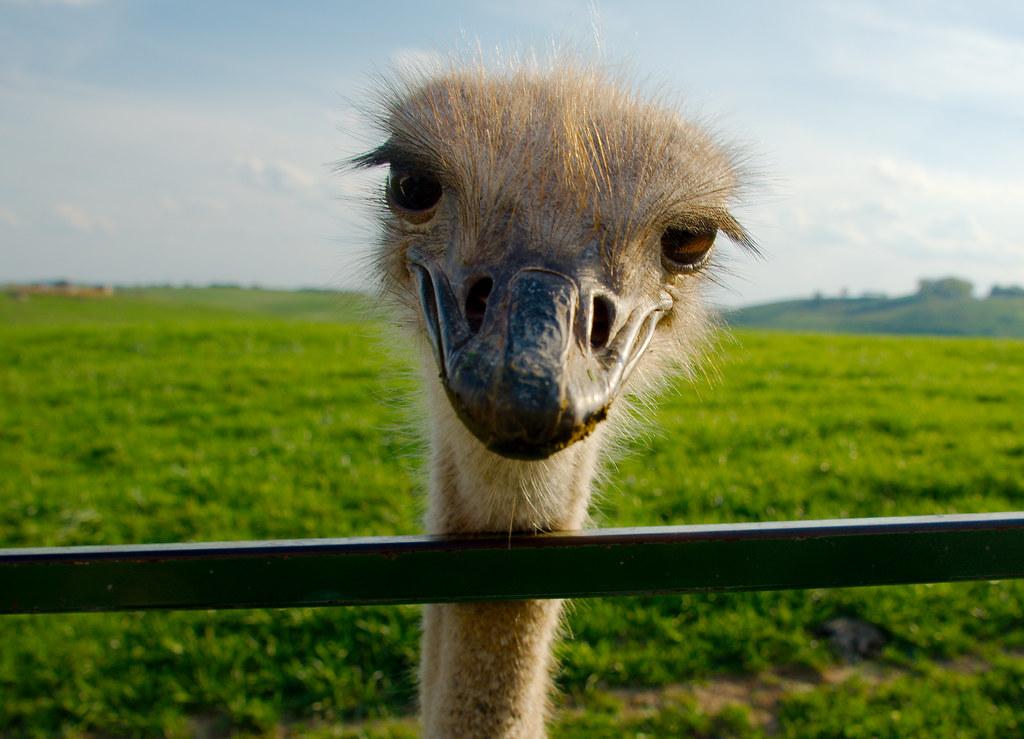 Ostrich0_15