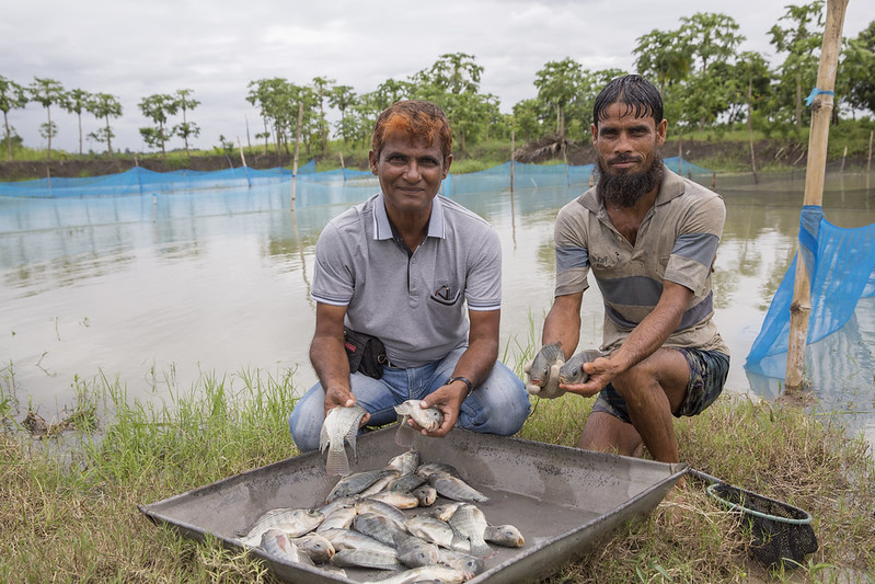 Freshly harvested tilapia in Jessore, Bangladesh. Photo by Yousuf Tushar.