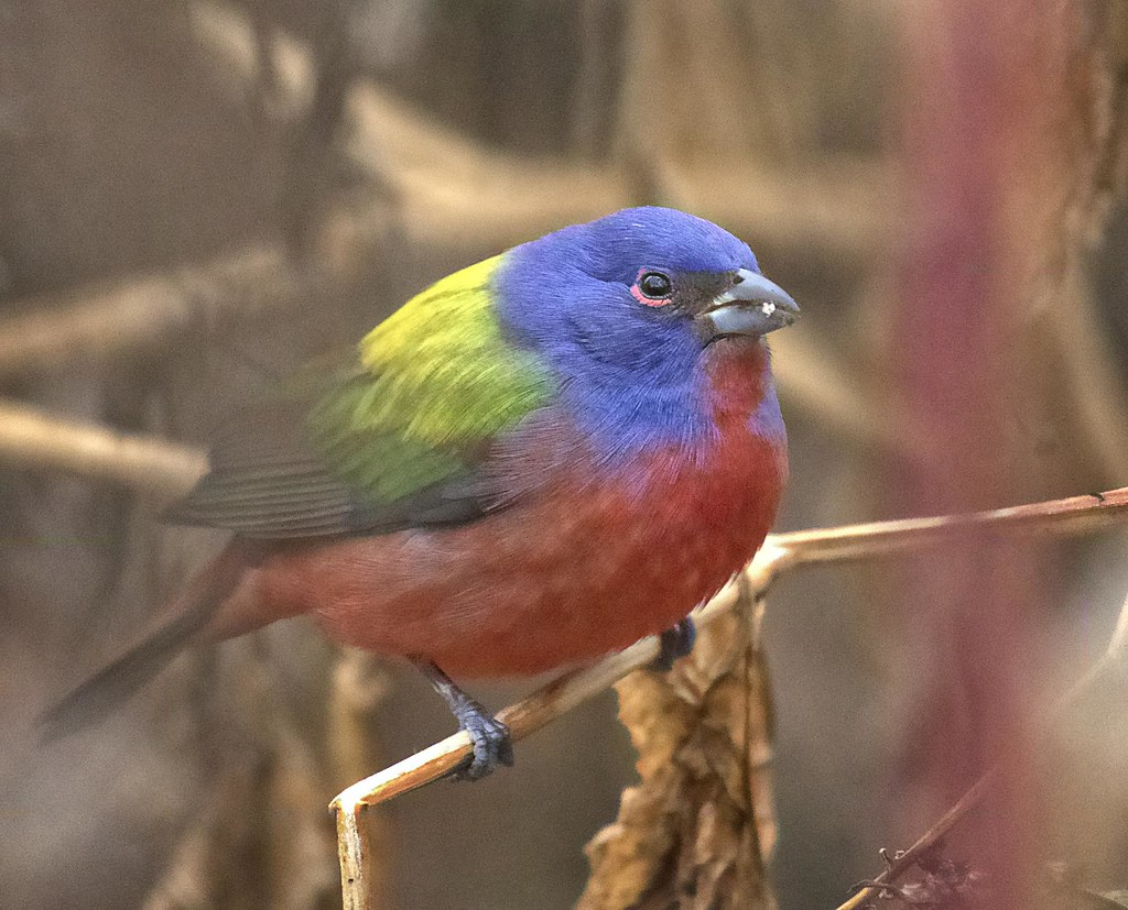 Painted bunting in Prospect Park