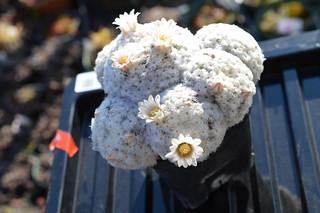 DSC_2244 Mammillaria plumosa  マミラリア 白星