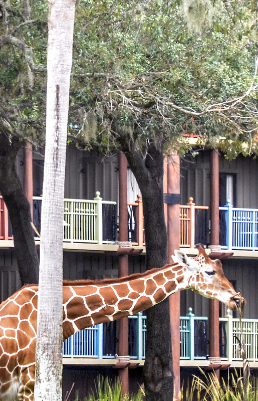 Giraffe Sanaa