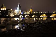 Charles Bridge Swans