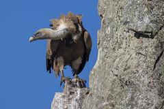 Accipítridos. Buitres (vultures)