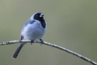 Black-faced Tanager / Schistochlamys melanopis / Pizarrita Sabanera