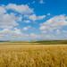 Beautiful Wheat Fields, Alberta by anoopbrar