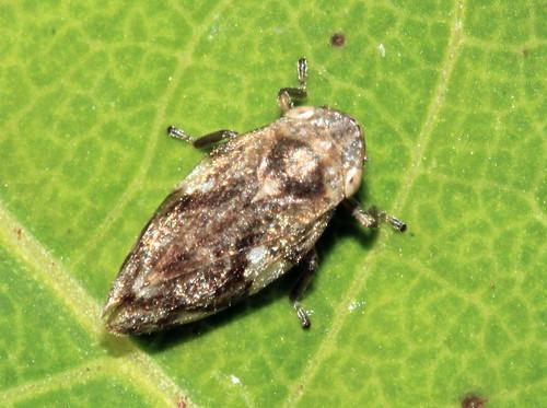 Philaenus spumarus 3806