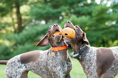 1552 Siamese Shorthaired Pointers (joined at the toy)