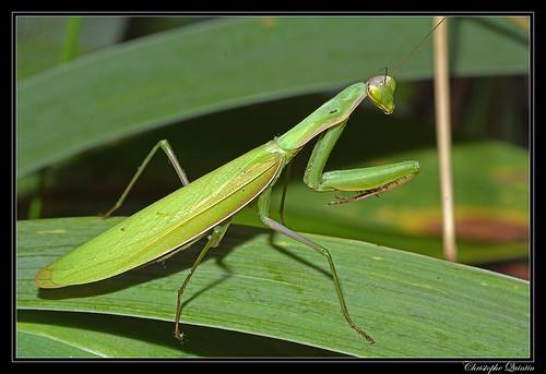 Mante religieuse (Mantis religiosa) femelle
