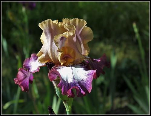 Iris Hindu Magic (4)