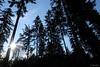 der Wald der Star