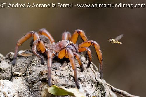 reefwondersdotnet posted a photo:Giant mygalomorph spider, family Nemesiidae, Damarchilus sp., possibly D. rufus, facing hoverfly, Hoollongapar Gibbon Wildlife Sanctuary (GWS), Assam, North-eastern India