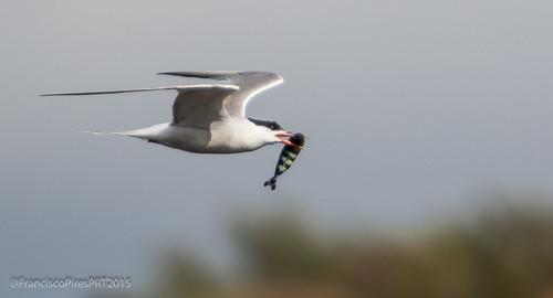 Garajau-comum (Sterna hirundo) Common Tern - Graciosa 2015-08-22