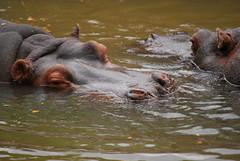 Hippopotamus amphibius DT [ES Zoo Madrid] (6)