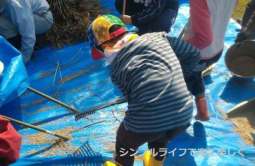 稲刈り・脱穀、籾集め