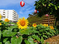 第2回大石公園ひまわり祭り2015-20