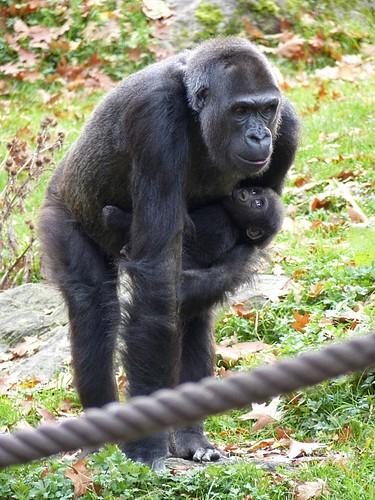 Gorilla Zoo Duisburg