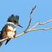 Belted Kingfisher.  _H179995 by Peacefulbirder