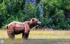 Brown Bear (Ursus arctos horribilis)