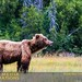 Small photo of Brown Bear (Ursus arctos horribilis)