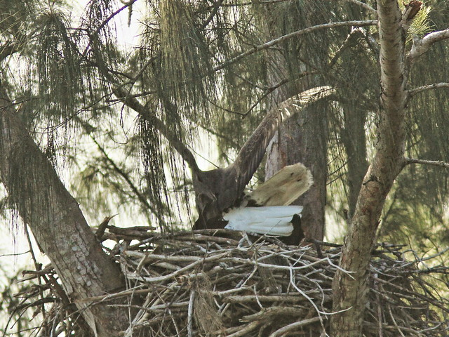 Bald Eagles copulating 04- 20151212
