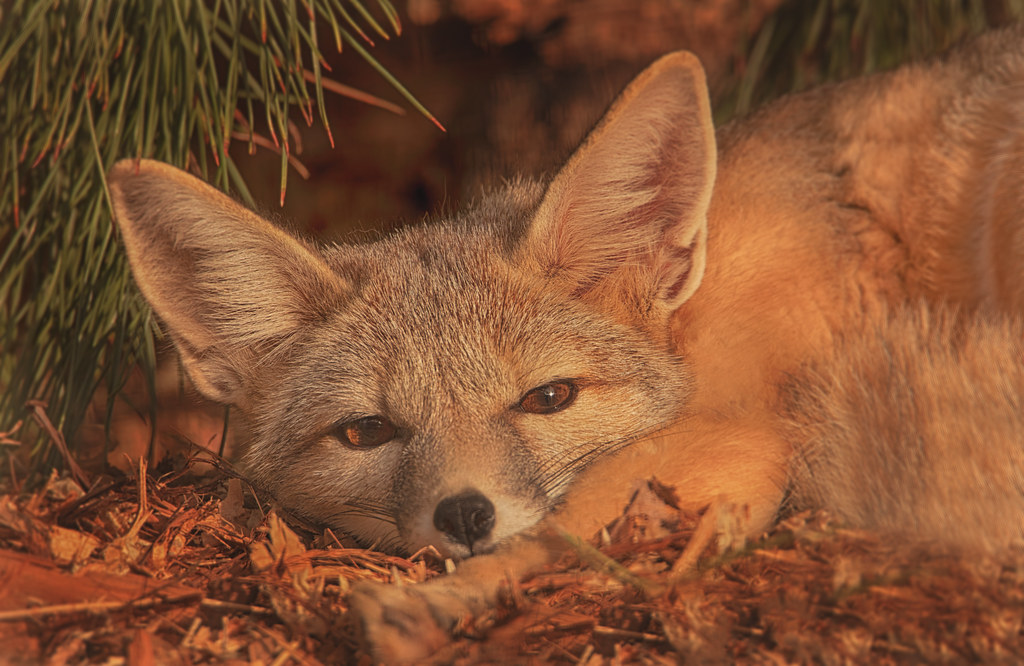 San Joaquin Kit Fox