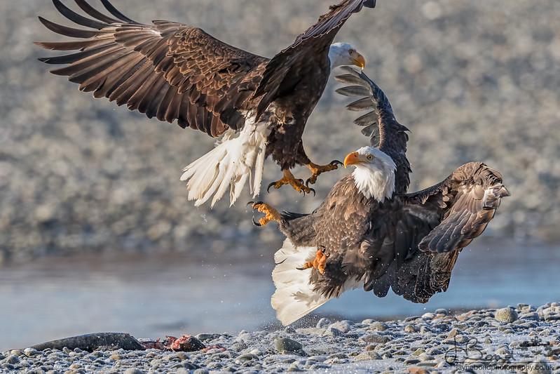Bald eagle_54I5946