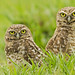 Burrowing Owls / Athene cunicularia / Buhito Mochuelo by Birding Tours Colombia