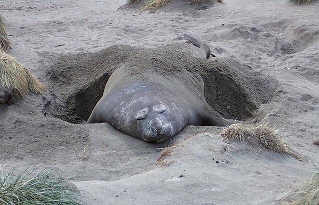 Blissful-elephant-seal