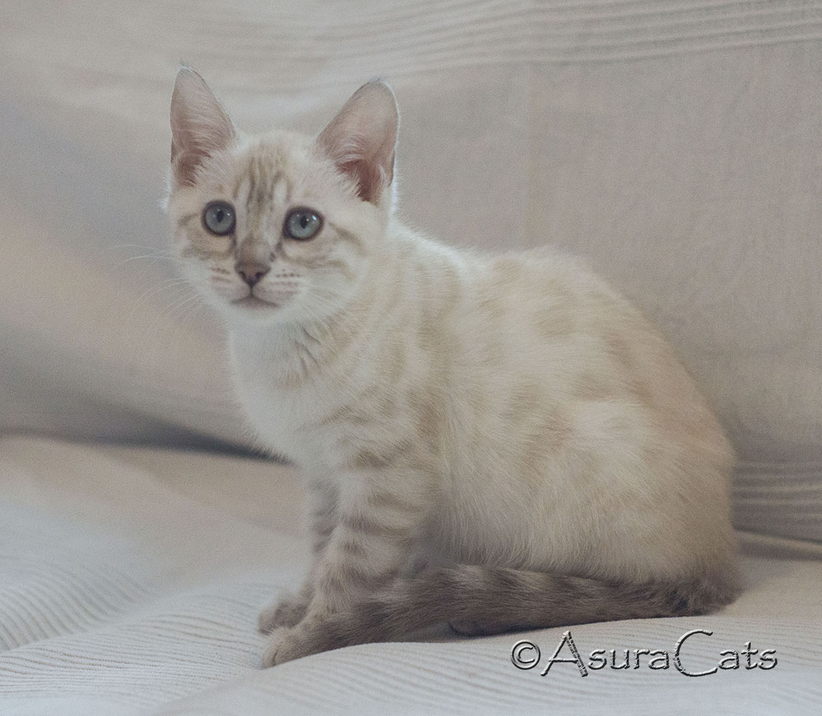 AsuraCats Fluttershy - Blue Lynx point snow spotted female Bengal kitten