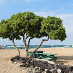 Heliotropium foertherianum tree