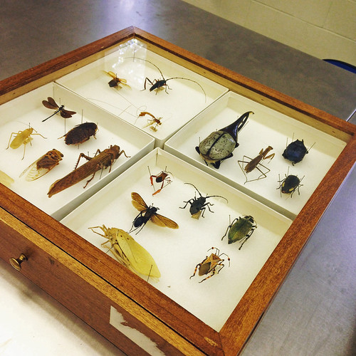 Drawer of a wide variety of insects curated for the GD200 class, including beetles, wasps, and mantids.